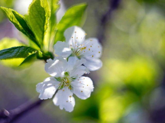 Apfelblüte bei HORNIG